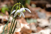 Spring snowdrops — Stock Photo