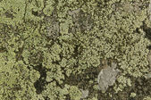 Lichen on the rocks — Stock Photo