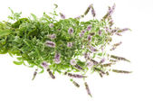 Mentha Arvensis — Stock Photo