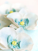 Blue sugar Orchid — Stock Photo