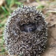 Hedgehog — Stock Photo #13166073
