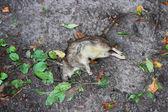 Martwy szczur — Zdjęcie stockowe