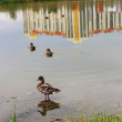 Ducks in the city — Stock Photo