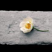 Cut flower — Stock Photo