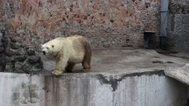 Polar bear and a crow — Stock Video