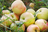 Fresh apples in grass — Stock Photo
