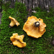 Stock Photo: Chanterelles