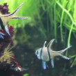 Stock Video: Zebrapogon fish