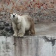 Stok video: Polar bear