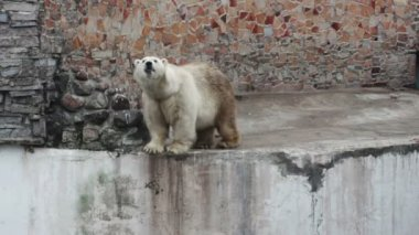 Polar bear — Stock Video