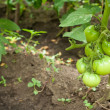 Green-tomatoes — Stock Photo