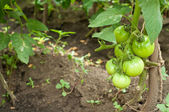 Green-tomatoes — Photo