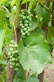 Clusters van groene druiven — Stockfoto