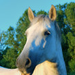 Stock Photo: White horse head