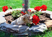 Puppy sniffing geraniums — Stock Photo