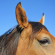 Stock Photo: Horse head extreme closely