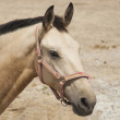 White horse head closely — Stock Photo