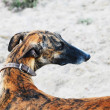 Greyhound Profile — Stock Photo #31718457