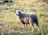 Sheep brown color — Foto Stock