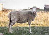 Couleur corps marron mouton — Photo