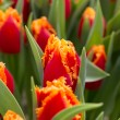 Stock Photo: Tulips growing in garden