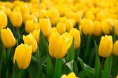 Tulips growing in garden — Stock Photo