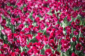 Tulips growing in garden — ストック写真