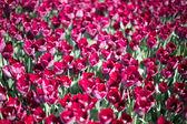 Crescendo no jardim de tulipas — Fotografia Stock