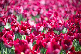 Tulips growing in garden — Stock fotografie
