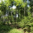Stock Photo: Beech forest