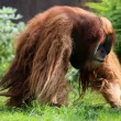 Stock Photo: Big male orang utan