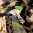 Stock Photo: Young giraffe