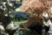 Blowfish — Stock Photo