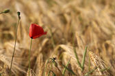 Corn poppy — Stock Photo