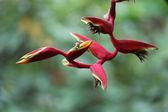 Helicônia-flor — Fotografia Stock