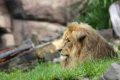 Portrait majestueux lion — Photo