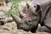 Черный носорог — Стоковое фото