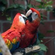Scarlet Macaw — Stock Photo
