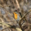 Red european robin — Stock Photo