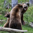 Fighting brown bears — Stock Photo
