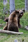 Fighting brown bears — Stock Photo