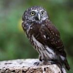 Pygmy owl — Stock Photo