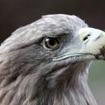 Sea eagle — Stock Photo #34540929