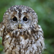 Tawny owl — Stock Photo #34541247
