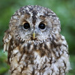 Tawny owl — Stock Photo #34541269