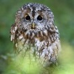 Tawny owl — Stock Photo #34541317