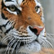 Stock Photo: Tiger Portrait