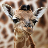 Young Giraffe Background — Stock Photo