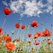 Stock Photo: Corn poppy background