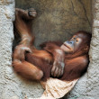 Stock Photo: Lying orang utan
